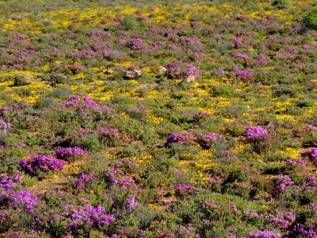 Cederberge Südafrika Blumenwiese