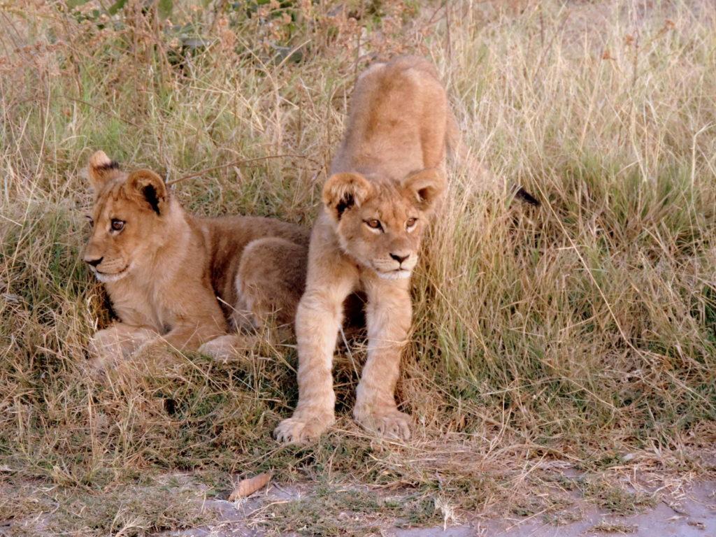 Babylöwen im Chobe Nationalpark