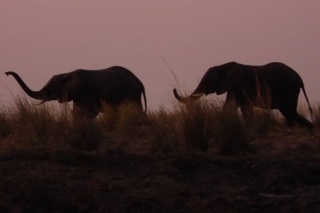 Elephanten in der Dämmerung - Chobe Nationalpark