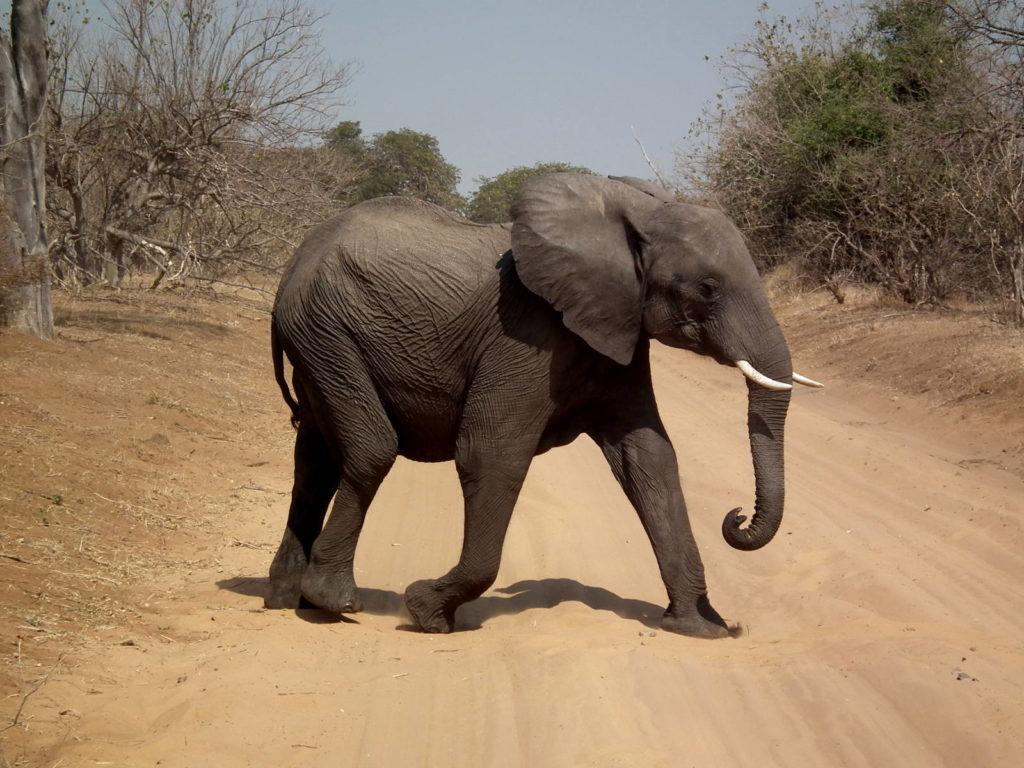 Elephant auf der Hunter's Road in Botswana