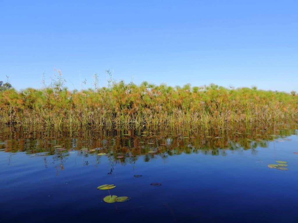 Schilf im Okavango Delta