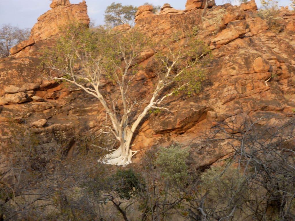 Baum im Mapungubwe National Park
