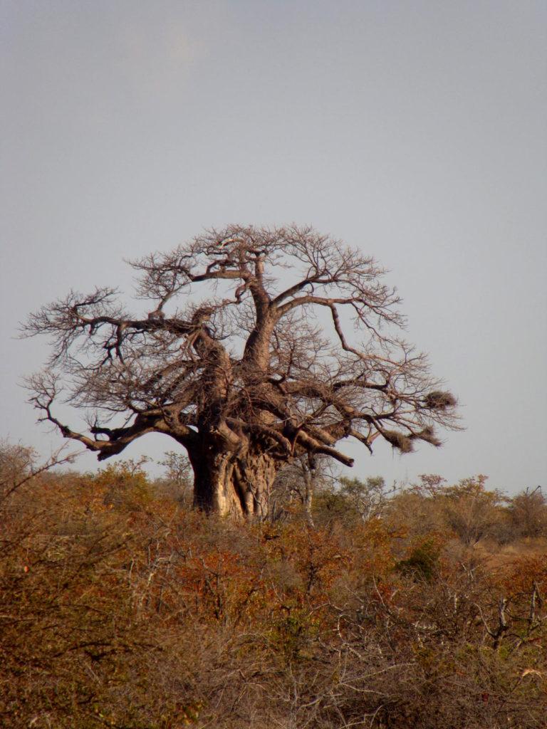 Baobab im Mapungubwe National Park