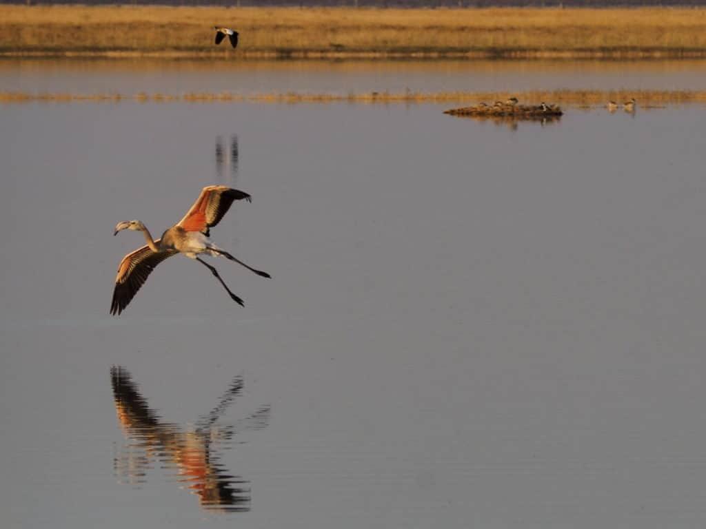 Landung Flamingo im Nata Bird Sanctuary