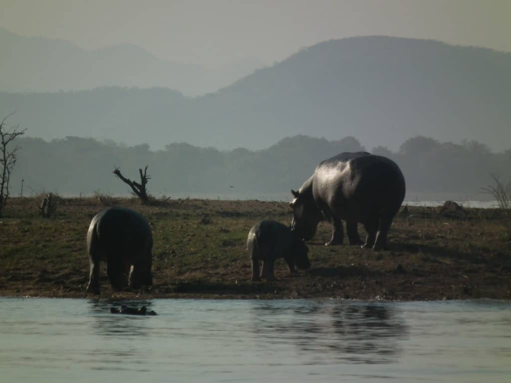 Nilpferdfamilie am Karibasee in Simbabwe