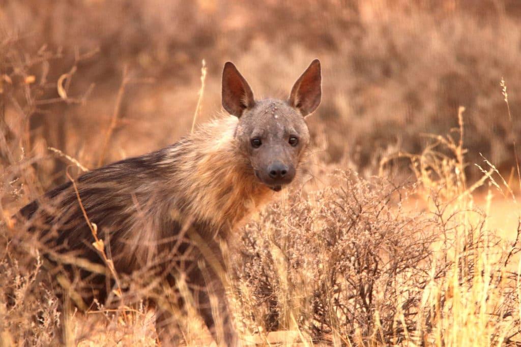 Hyäne im Kgalagadi Transfrontier Nationalpark