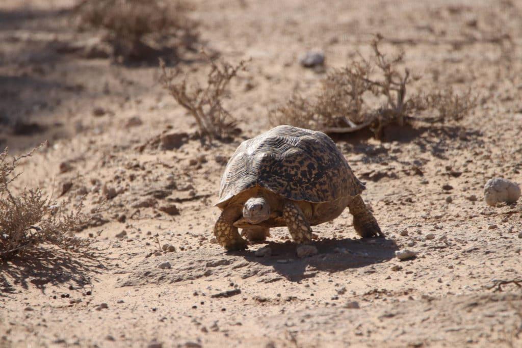 Schildkröte Kgalagadi Transfrontier Nationalpark