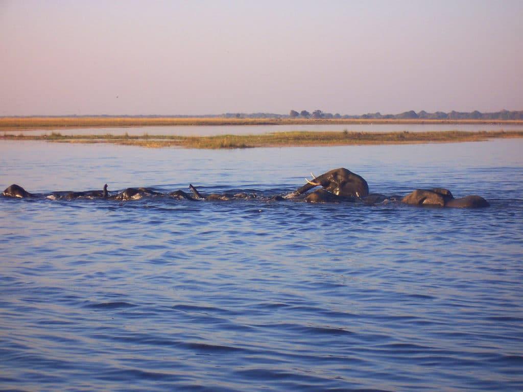 Elefanten tauchen im Chobe Nationalpark