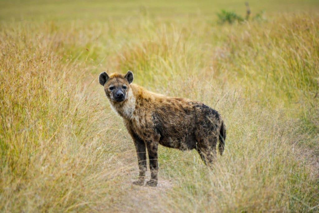 Hyäne im Liuwa Plain Nationalpark