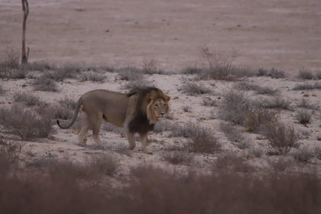 Schwarzmähniger Löwe in der Kalahari