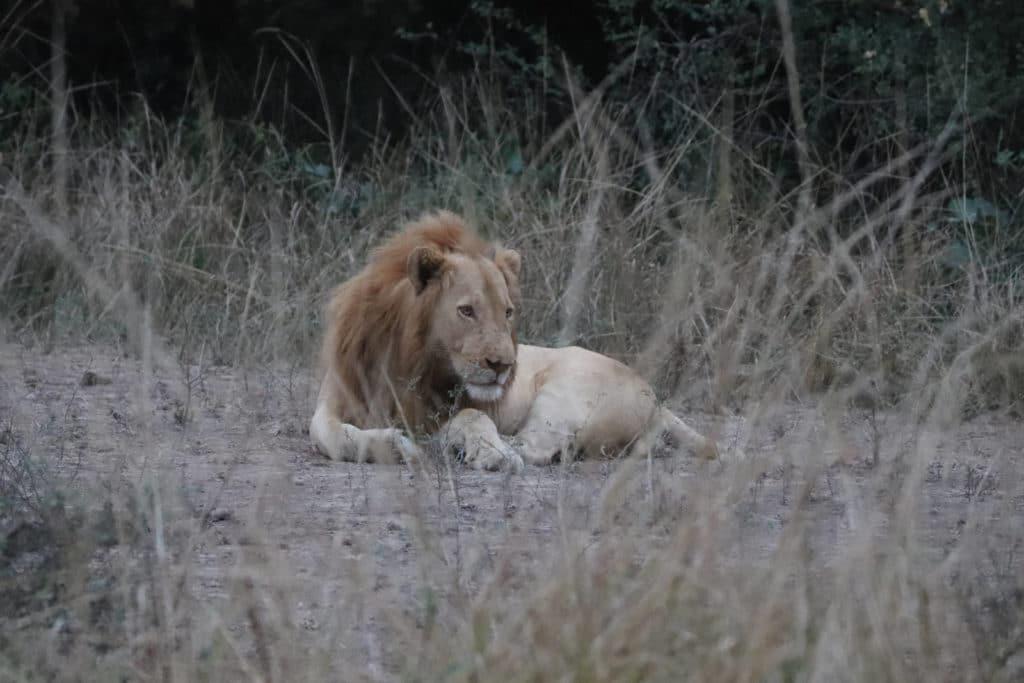 Löwe im South Lunagwa Nationalpark