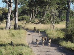 Wildhunde im Moremi Game Reserve