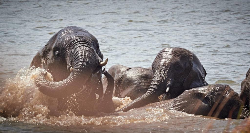 Freudige Elefanten - Savuti