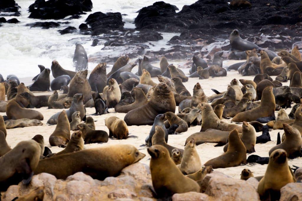 Robben an der Skelettküste in Namibia