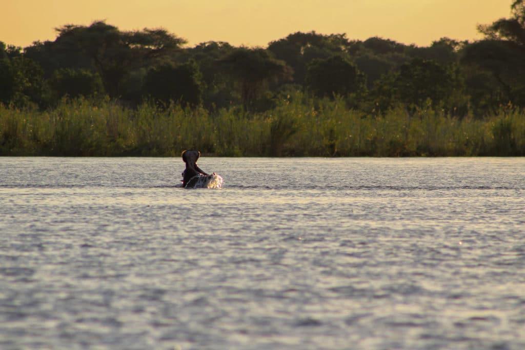 Nilpferd Zambezi Region Namibia