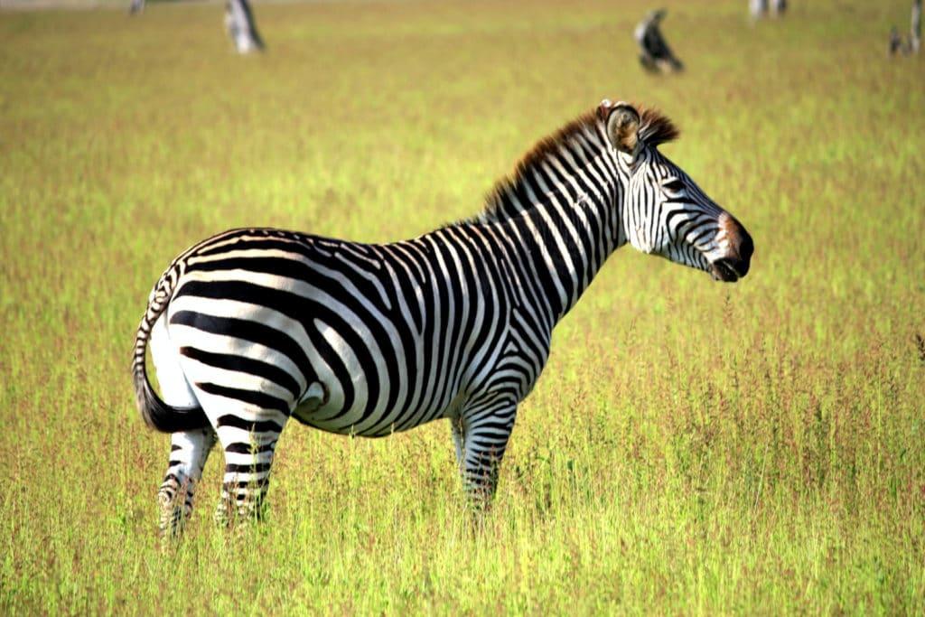 Zebra in den Busanga Auen