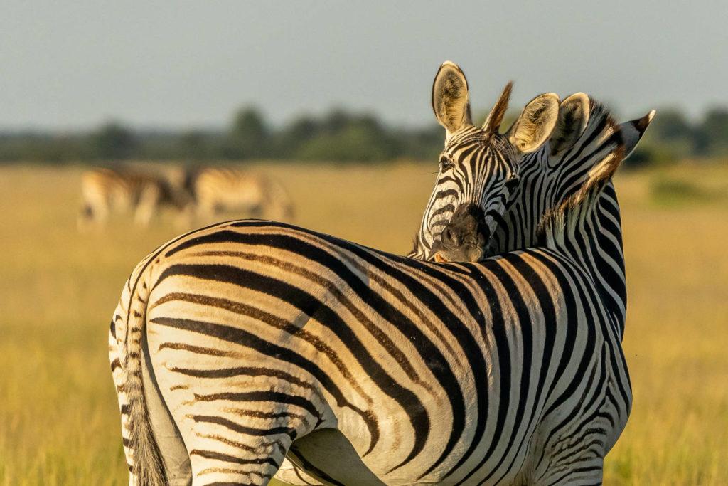Zebra Migration in Botswana